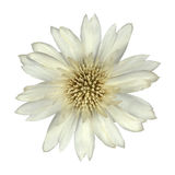 White Cornflower Like Flower Isolated Stock Photos