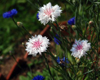 White cornflowers. Against blue cornflowers - meadow and cultivated flowers Royalty Free Stock Photos