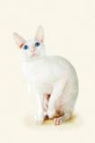 White  cornish-rex Royalty Free Stock Photos