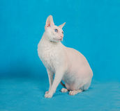 White  cornish-rex Stock Images