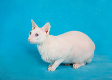 White  cornish-rex Royalty Free Stock Photos