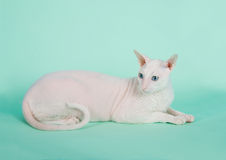 White  cornish-rex Royalty Free Stock Photo
