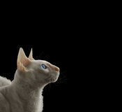 White Cornish rex Stock Photo