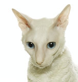 White  cornish-rex Royalty Free Stock Images
