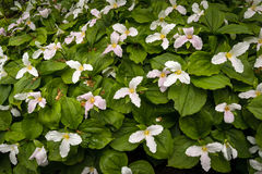 White Cornus in bloom with large flowers. White Cornus imported fro Africa with big green leaves Royalty Free Stock Images