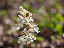 Corydalis flower growing in spring forest. White corydalis flower blooming in the forest on a sunny day Stock Photo