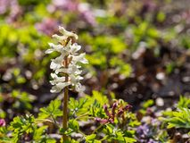 Corydalis flower growing in spring forest. White corydalis flower blooming in the forest on a sunny day Royalty Free Stock Image