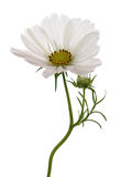 White cosmea (cosmos) stock photo