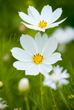 White Cosmea (cosmos) flowers Stock Photo
