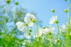 White cosmea flower under  blue sky. White cosmea flower under blue sky with selective focus and blurry background Stock Photo
