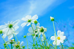 White cosmea flower under sunlight and blue sky. With selective focus and blurry background Stock Photography