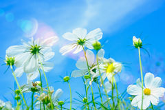 White cosmea flower under sunlight and blue sky. With selective focus and blurry background Royalty Free Stock Photo
