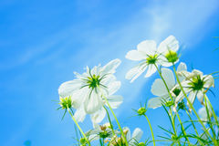 White cosmea flower under sunlight and blue sky. With selective focus and blurry background Royalty Free Stock Photos