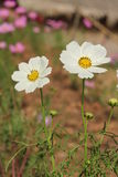 White cosmea rose Stock Photos