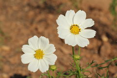 White cosmea rose Royalty Free Stock Photos