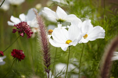 White cosmos Stock Images