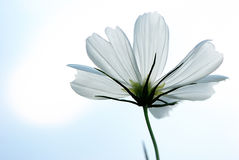 White cosmos bipinnatus Stock Photos