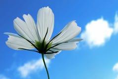 White cosmos bipinnatus. A summer color garden flowers Stock Image