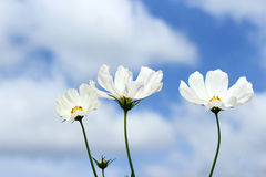 White Cosmos blooming. On  blue sky background Stock Photos