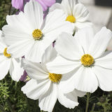 White Cosmos Stock Photo