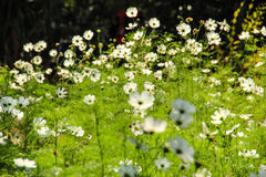 White cosmos field. Little white cosmos field ,green leaves background royalty free stock photos