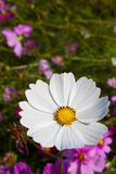 White Cosmos Flower Royalty Free Stock Photography