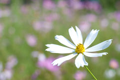 White cosmos flower Royalty Free Stock Images
