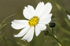 White Cosmos Stock Photos