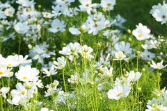 White cosmos flower blossom in grass. Stock Photos