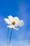 White cosmos flower in blue sky. White cosmos flower yellow stamen in blue sky Stock Photos