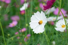 White cosmos flower with blur garden background Royalty Free Stock Images