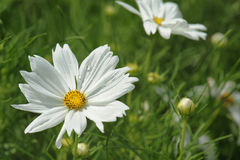 White cosmos flower with blurred background Stock Photos