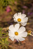 White cosmos flower close up Royalty Free Stock Images
