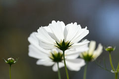 White cosmos flower. Closeup beautiful white cosmos flower Royalty Free Stock Photography