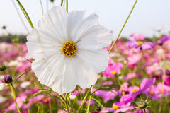 White cosmos flower on field Royalty Free Stock Photos