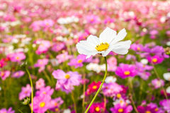 White cosmos flower on field Stock Photos