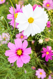White cosmos flower on field Royalty Free Stock Image
