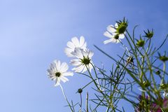 White Cosmos Flower Royalty Free Stock Photo