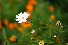 White Cosmos Flower Stock Images