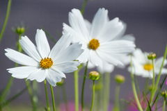 White Cosmos Flower Stock Image
