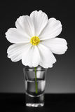 White cosmos flower in glass vase close up Royalty Free Stock Images