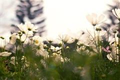 White Cosmos flower Royalty Free Stock Photos
