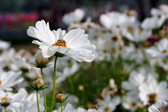 White cosmos flower in the nature Royalty Free Stock Photography