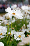 White cosmos flower in the nature Royalty Free Stock Photos