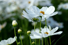 White cosmos flower in the nature Stock Image