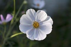White Cosmos Flower Royalty Free Stock Image