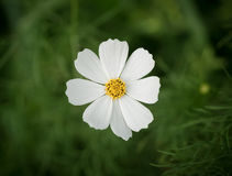 White Cosmos flower. Royalty Free Stock Image