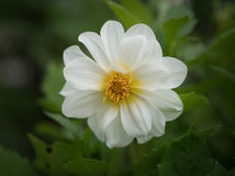White Cosmos flower. Royalty Free Stock Photos
