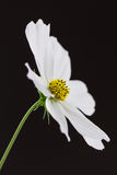 White cosmos flower Stock Photography