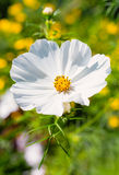 White Cosmos Flower Stock Photos